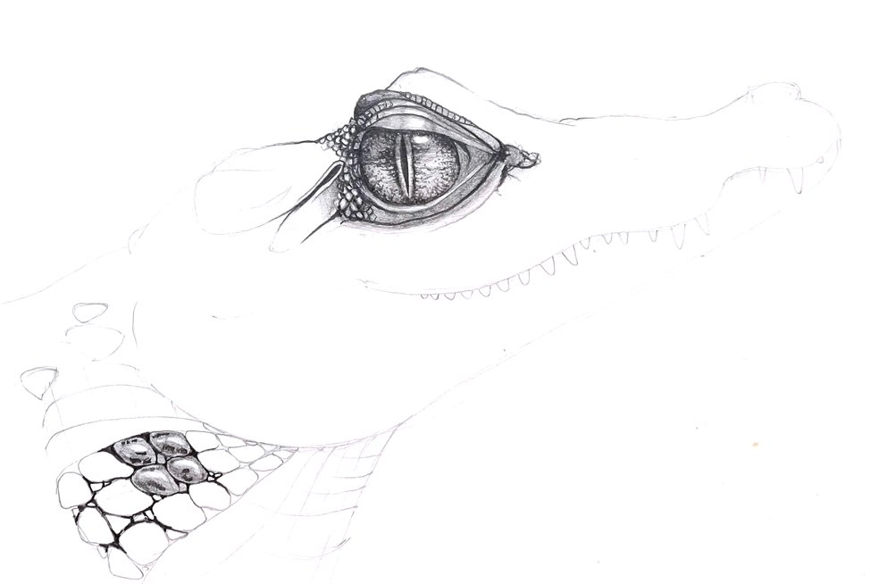 alligator eye pencil rendering