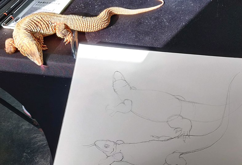 live sketching a spiny tailed monitor lizard