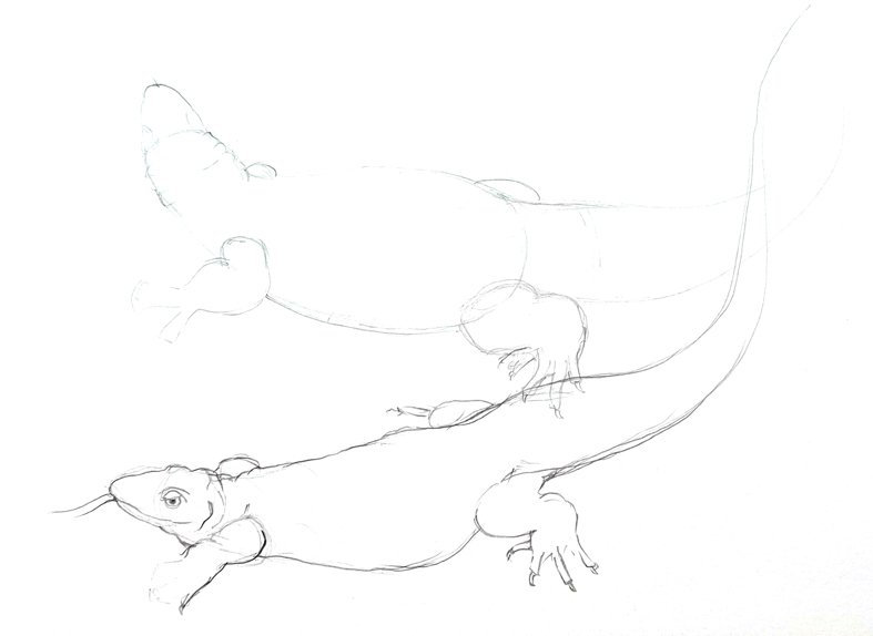 spiny tailed monitor lizard pencil sketch