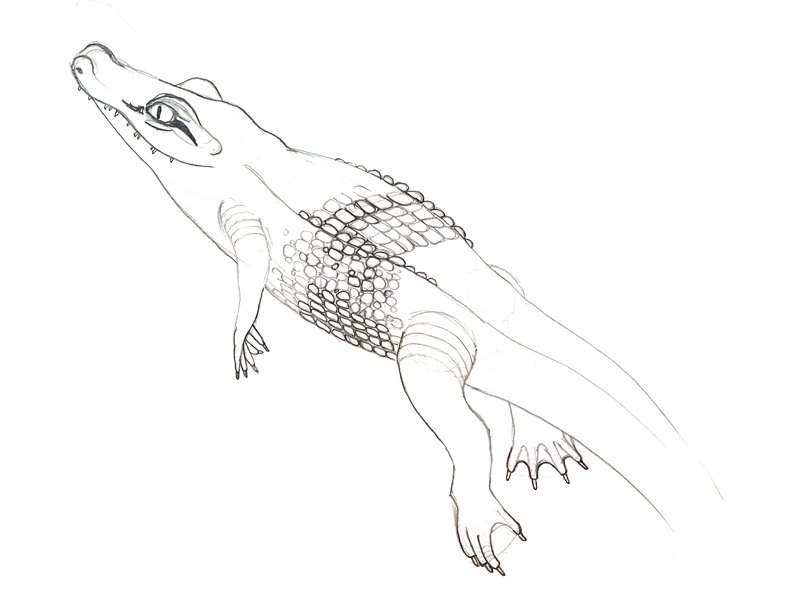 three year old american alligator pencil sketch
